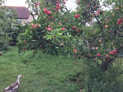 Duck and apple tree at Longbarn